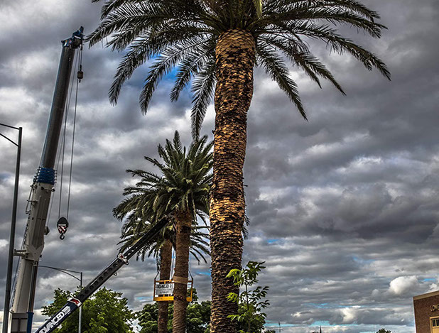 Securing the newly planted Palm trees